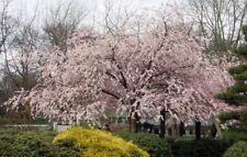 Mandshurian Apricot (Prunus mandshurica) 10 seeds