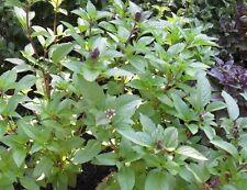 Cinnamon Basil 100 Seeds Fresh Heirloom culinary scent Herb plant Pesto Spicy