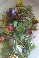 Rare Succulent plants. 60 ready to plant succulent cuttings echeveria, euphoriba