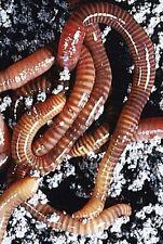 WINTER-ANGEBOT 500 Kompostwürmer, die Tennesseewiggler, das Original !!