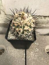 Copiapoa spec El Calauche Chile very nice Eriosyce Pyrrhocactus Ariocarpus