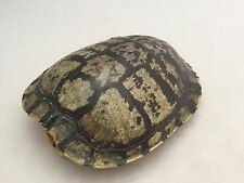 Real Turtle Shell - 6 - 7 inch Long - Red Eared Slider - Male - Biology, Crafts