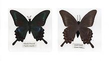 Laminated Maackii Peacock Papilio maackii Butterfly Specimen in 110x110 mm sheet