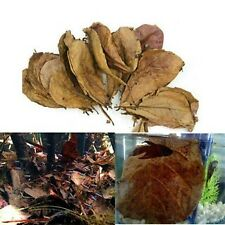 Grade A Natural Terminalia Catappa Foetida Leaves / Island Almond Leaf fish