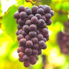 2 Cuttings Black Manukka Grape, Seedless Grape Vine Cuttings, Zone 6 to 11