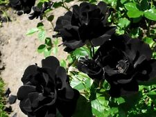 100 Pcs Beautiful Black Rose Garden Flower Rosebush Seeds Multiflora Climbing