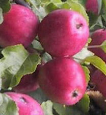 Ranetka crabapple fruit tree edible & wildlife crab apple LIVE PLANT