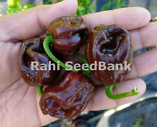 Chocolate Scotch Bonnet Chilli - Most Rare in the Entire Scotch Bonnet Family!!!
