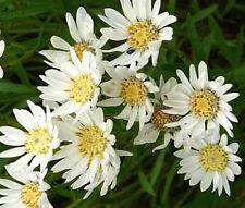 ASTER UPLAND WHITE Aster Ptarmicoides - 2,000 Bulk Seeds