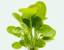 ECHINODORUS HORIZONTALIS ONE BUNDLE - Aquatic Live Plants  SUPER PRICE!!!!!