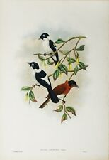 John Gould, Hand Colored Lithograph, ORIGINAL, from The Birds Of New Guinea