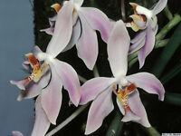 Rare orchid species (seedling) - Paraphalaenopsis laycockii
