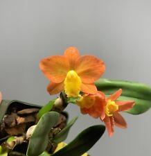 Blooming Size (Cattleya Beaufort x Cattleya cernua) Mini Cattleya in 3� inch Pot