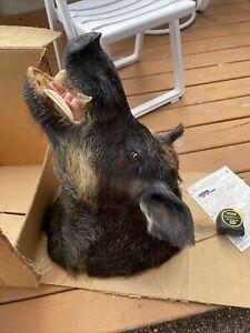 Large wild hog/pig/boar large tusks head/shoulder taxidermy mount