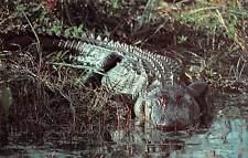 Huge Alligator Everglades National Park