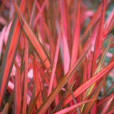 More details for 1 x phormium 'maori sunrise' new zealand flax evergreen shrub hardy plant in pot