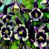Columbine- William Guiness- 50 Seeds - BOGO 50% off SALE