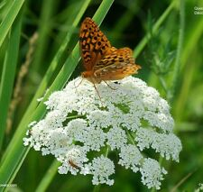 200+ Organic Queen Anne's Lace Seeds ~ Wild Carrot *Free US shipping*