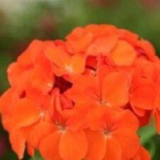 Geranium - Spirit Orange - 10 Seeds