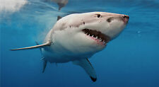 "GREAT WHITE SHARK POSTER 24"" x 43"" JAWS LARGE WALL POSTER PRINT.."