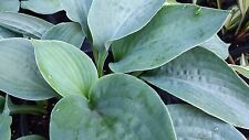 Hosta - Bressingham Blue - Giant Hosta