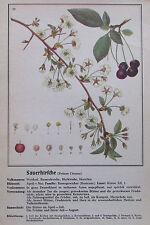 ca. 1940 SAUERKIRSCHE Prunus Cerasus alter Druck print Litho Pflanzen Botanik