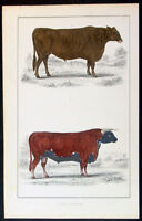 1830 Oliver Goldsmith Antique Print of Suffolk Oxen & Herfordshire Bull, Bovine
