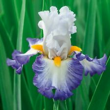 "Brilliant Idea Iris Plant 4"" Pot 