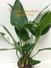 Anubias hastifolia Mother Pot Live Aquatic Fresh Water Plant M043
