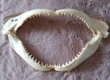 More details for shark's jaw 15+ inches
