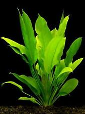 *BUY 2 GET 1 FREE* Amazon Sword Echinodorus Bleheri Live Aquarium Plants Rooted✅