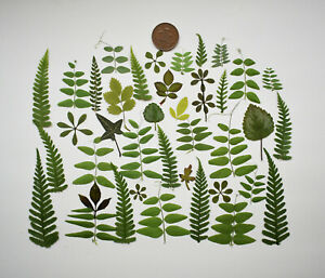 50 Mixed Pressed Leaves, Foliage, Vetch, Cleavers, Fern Green scrapbooking