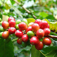 100 Stück Kaffee Bohnen, Kaffee Arabika Samen, Coffea Arabica Catura seeds Y6A5
