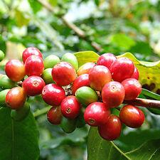 100 Stück Kaffee Bohnen, Kaffee Arabika Samen, Coffea Arabica Catura seeds