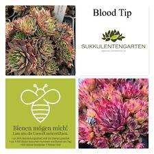 "Sempervivum rosette EDERA EDERA perenne pianta inverno ""Blood Tip"" 528"