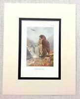 Antico Stampa Common Buzzard Uccelli Di Preda Vintage Fauna Selvatica Art 1929