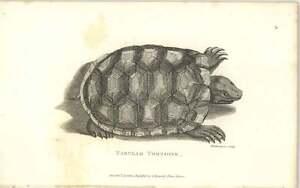 1802 Amphibia Print Shaw Tabular Tortoise