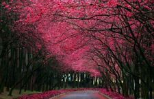 10 Pcs Beautiful Japanese Sakura Flower Seeds Cherry Blossoms Tree seeds