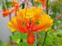 YELLOW BIRD OF PARADISE SEEDS CAESALPINIA GILLIESII FLOWERING SHRUB 5 SEED PACK