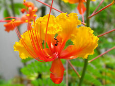 YELLOW BIRD OF PARADISE SEEDS CAESALPINIA GILLIESII FLOWERING SHRUB 5 SEED PACK