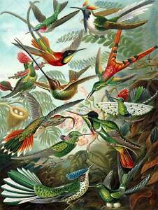 BIOLOGY BIRD HUMMING ERNST HAECKEL GERMANY VINTAGE POSTER PRINT 12x16 inch 865PY