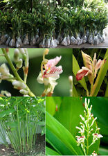35 SEEDS GREATER GALANGAL ALPINIA GALANGA HERB FOR COOKING TOM YUM GOONG RARE
