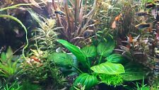 Cryptocoryne akvarium plants