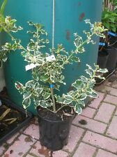 Evergreen VARIEGATED HOLLY Tree 19cm Pot Ilex Aquifolium Hardy Prickly 18-24ins