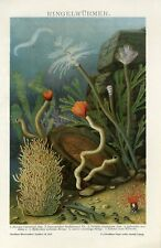 1895 MARINE SEA WORMS Antique Lithograph Print Dr.Etzold