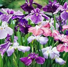 JAPANESE IRIS ENSATA - PERENNIAL - 2 LIVE PLANTS - PACKED IN SOIL - LOOK!