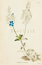 "Loddiges Flower Print - ""VERONICA REUCRIUM"" - Hand Colored Engraving - 1818"
