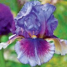 2 Iris Bulbs Rare Easy Planting Rhizome Bearded Resistant Perennial Reblooming