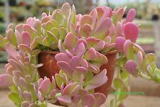 Succulents Senecio jacobsenii-Trailing jade Weeping Jade 3 fresh cuttings