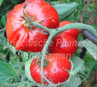 🔥 🍅 SPECKLED SIBERIAN Tomate*Tomaten*kältetolerant*10 Samen